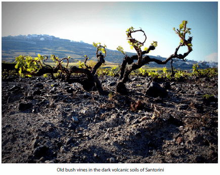 Old bush vines in the dark volcanic soils of Santorini