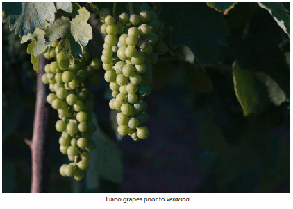 Fiano grapes prior to veraison