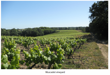 Muscadet vineyard