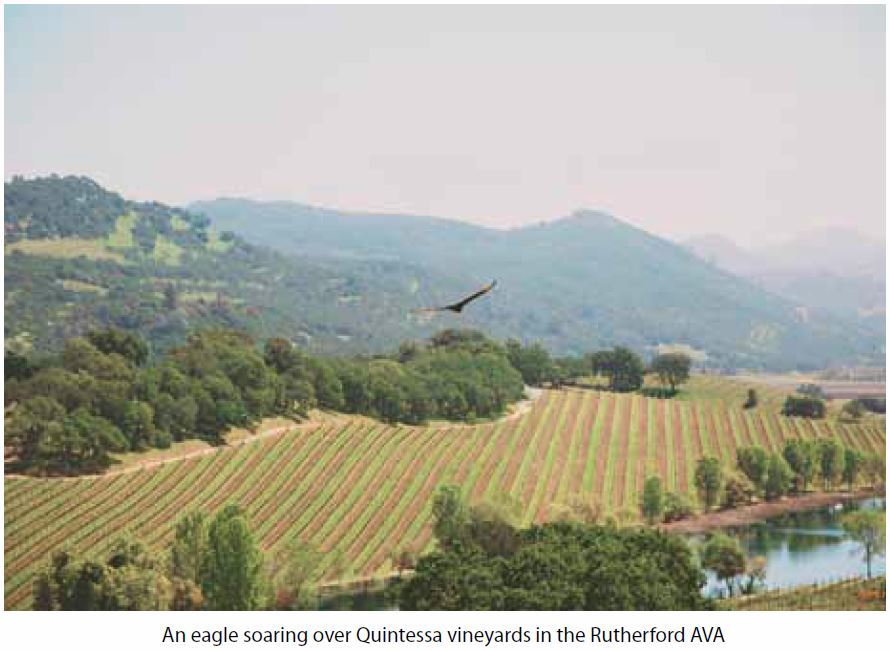 An eagle soaring over Quintessa vineyards in the Rutherford AVA
