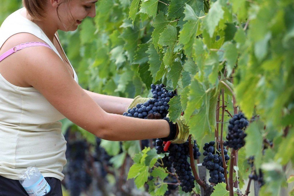 A woman picks grapes during the grape harvest at 'Castello La Leccia' on Oct. 1, 2014 in Castellina in Chianti, Italy. Photographer: Franco Origlia/Getty Images
