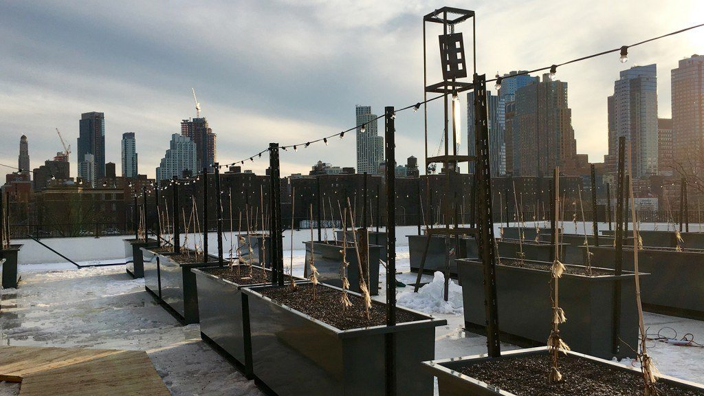 Rooftop Reds' vines are dormant in Brooklyn's winter, but the owners hope the looming growing season brings success. Photo by: Samantha Falewée